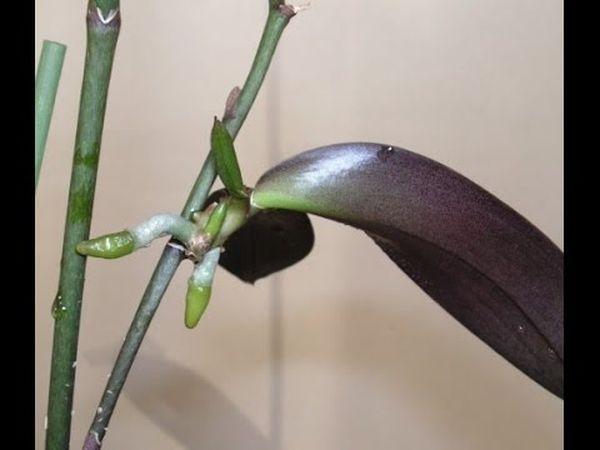 При обнаружении капель можно подкормить орхидею
