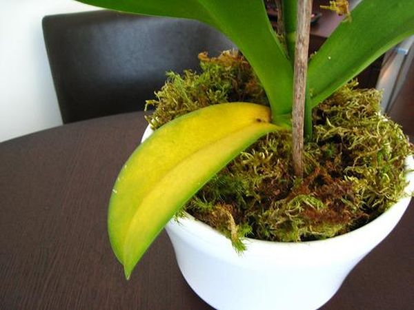 Также листья могут опадать из-за недостатка удобрений