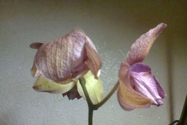 Ненормированный полив также может погубить растение