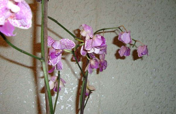 Орхидея может сбрасывать цветы из-за болезни