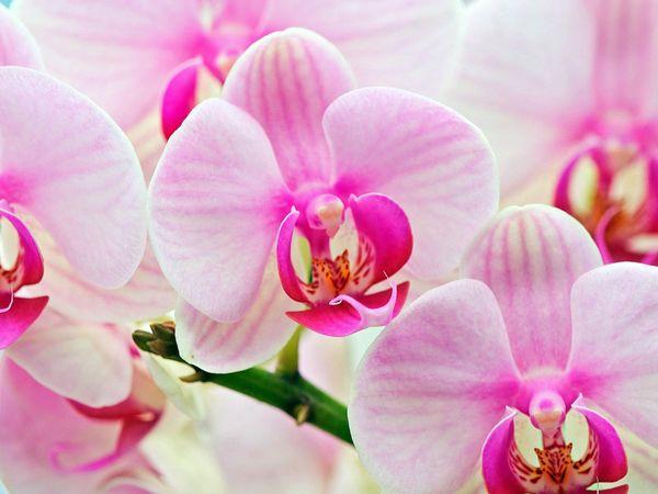 При правильном уходе орхидея будет радовать своей красотой
