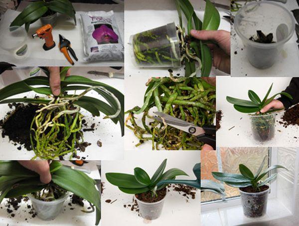 Орхидея Фаленопсис уход в домашних условиях легко и 74