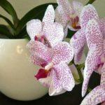 Орхидею можно подкармливать разными способами