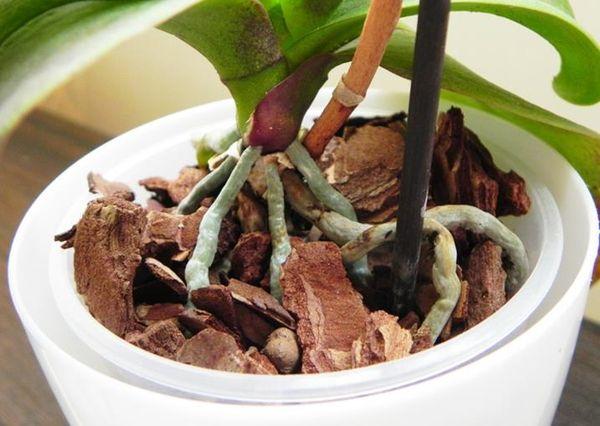Орхидеи сажают в в готовый субстрат из сосновой коры