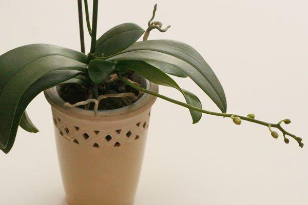 Размножать орхидею цветоносом можно после завершения цветения