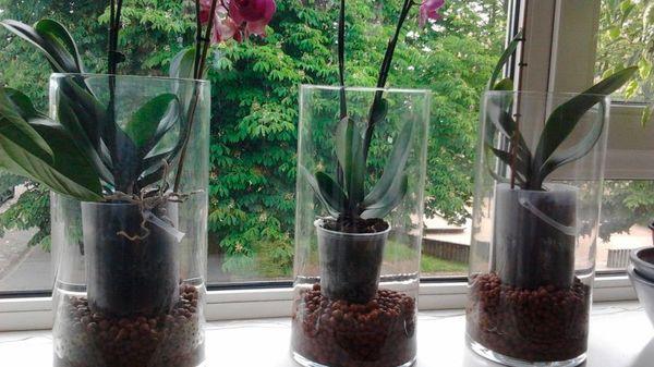 Полив орхидеи должен быть не слишком обильным