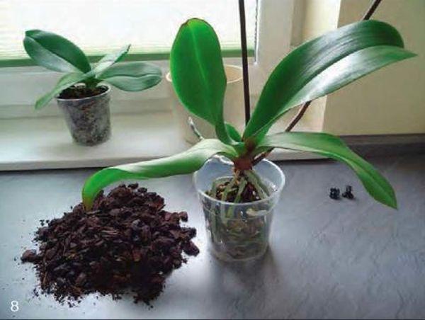 После реанимации орхидею засыпают новым субстратом