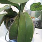 У орхидей периодически могут трескать листы