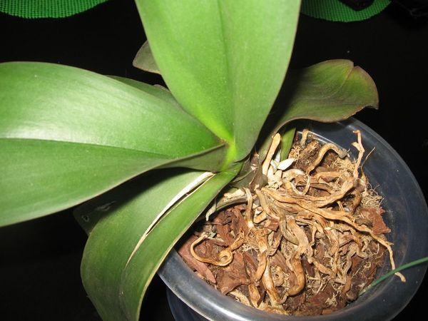 У орхидей листы могут трескать из-за физических повреждений