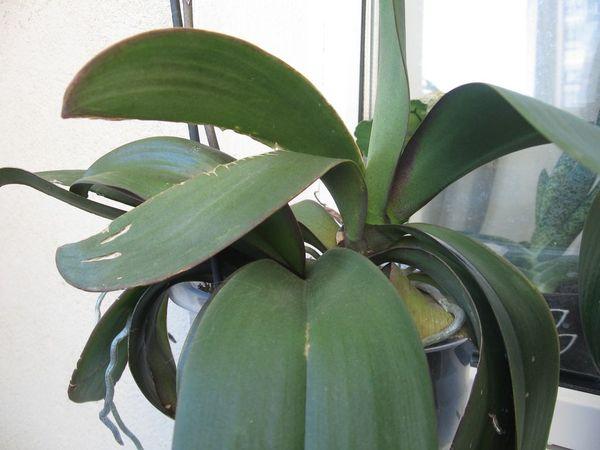Листы у орхидеи могут трескаться от недостатка воды