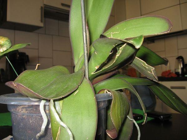 Также листы трескают из-за пересушенной корневой системы