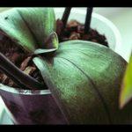При неправильно уходе листья орхидеи теряют тургор