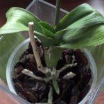 У орхидеи может теряться тургор листьев