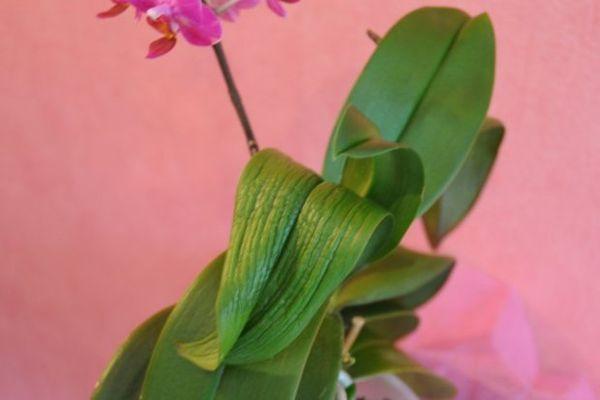 На тургор листьев могут повлиять болезни и вредители