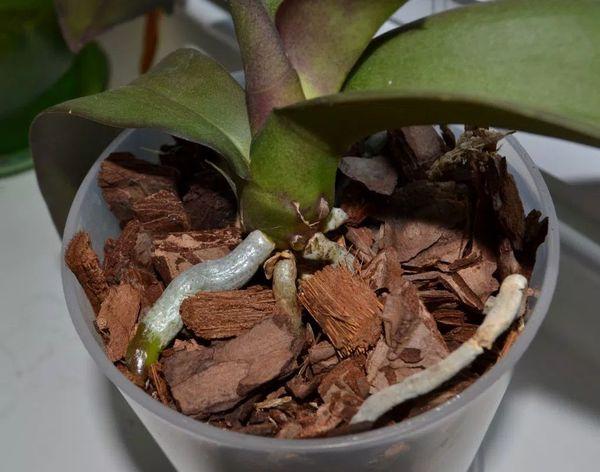 Данным препаратом подкармливают орхидеи