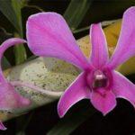 Вредители орхидей фаленопсис – явление нередкое