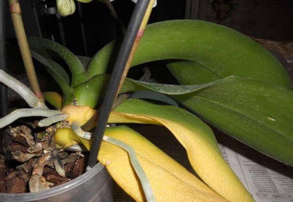 Орхидея может желтеть из-за неправильного удобрения