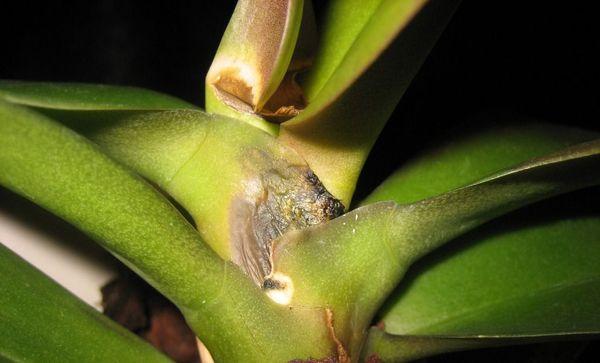 Фузариозная гниль происходит из-за повышенной влажности