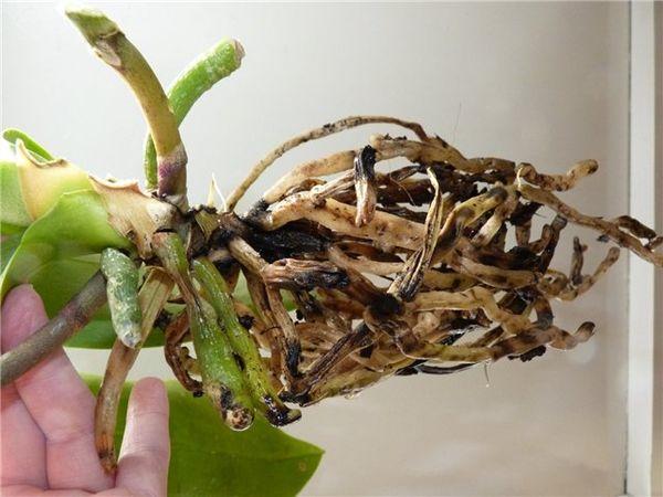 Пострадавшие корни орхидеи могут погубить ее