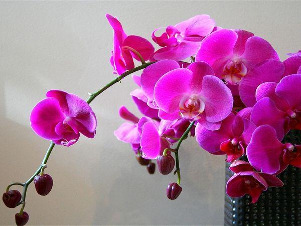 Мультифлора – орхидея с небольшими цветками