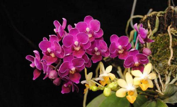 Цветоносы этой орхидеи довольно необычные
