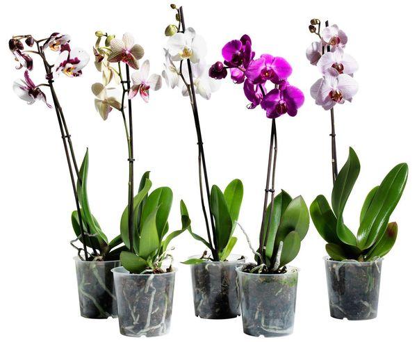Для развития и цветения орхидее требуется пространство