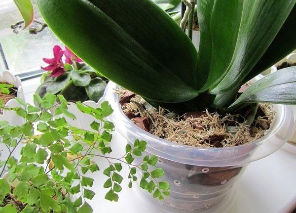 Для обильного цветения орхидею нужно подкармливать