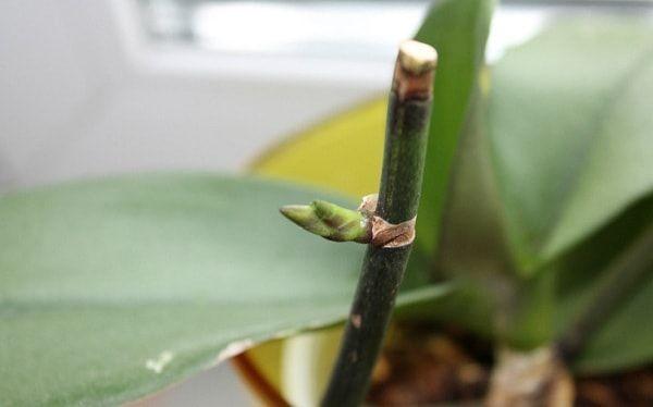 Обрезка орхидеи после цветения