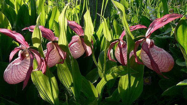 Садовая орхидея украсит любой сад