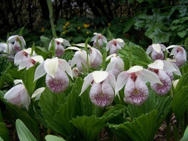 Размножать садовые орхидеи очень сложно