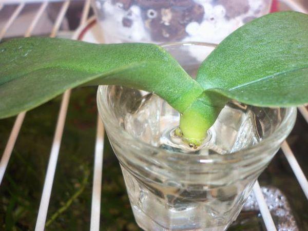 Янтарная кислота способствует росту корней