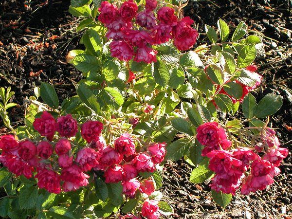 Роза Гроотендорст подходит для выращивания в средней полосе