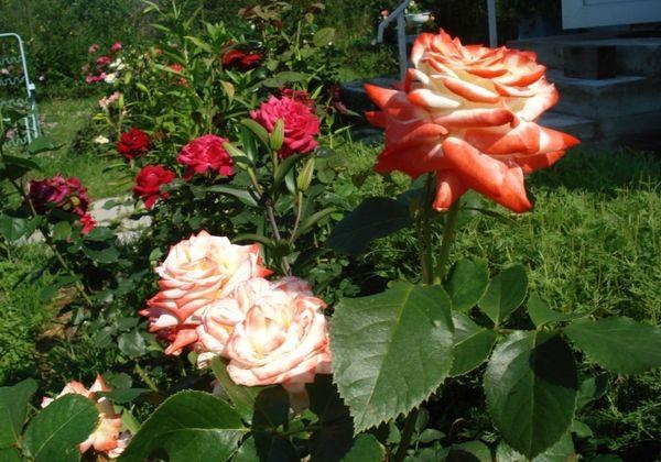 Роза не должна зимовать с листьями