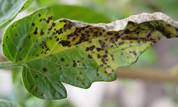 Признаком мозаичной болезни являютсяпятна на листьях растений