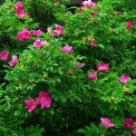 Морщинистые розы относятся к роду шиповников