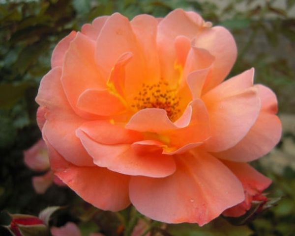 Роза Вестернленд отличается стойким ароматом