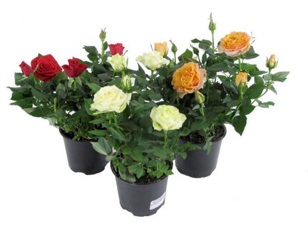 Первые бутоны розы рекомендуют срезать