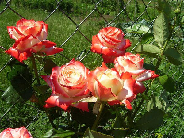 Роза Императрица Фарах имеет слабовыраженный аромат