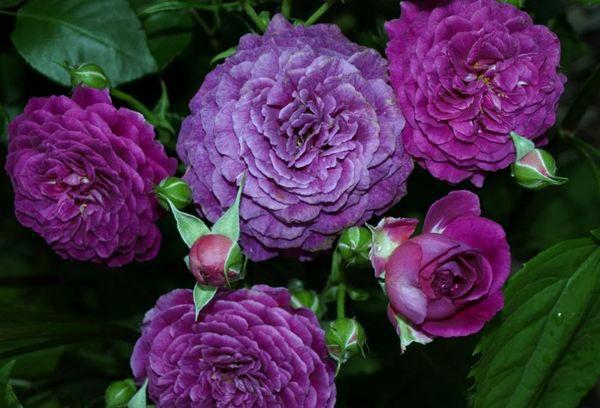 Розы темно сиреневые