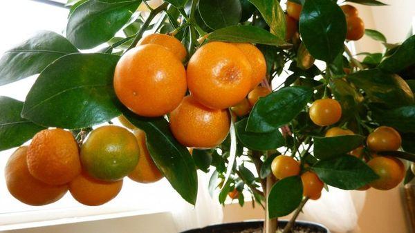 Вырастить мандарин из семечек вполне возможно
