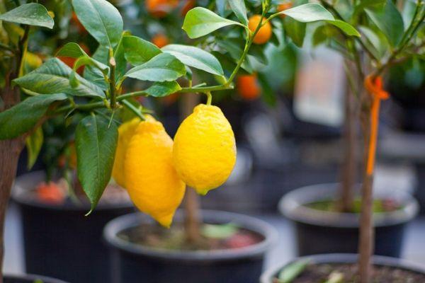 Против лимонных паразитов помогут магазинные инсектициды