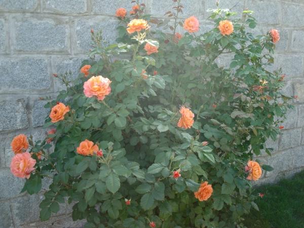 Подкормку розы Вестерленд осуществляют 2 раза в год