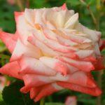 Роза Императрица Фарах имеет продолжительную длительность цветения