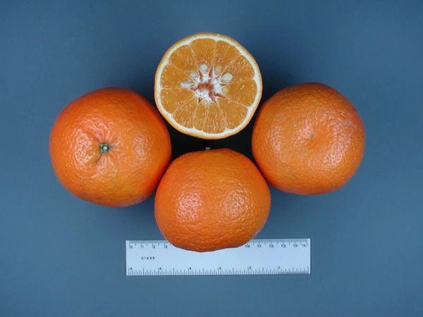 Тангор очень похож на мандарин