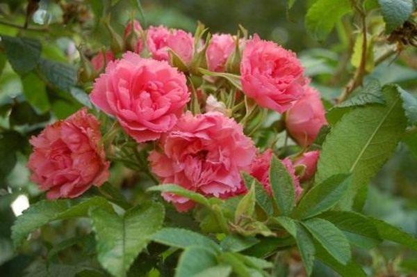 Морщинистые розы рекомендуют сажать ранней весной