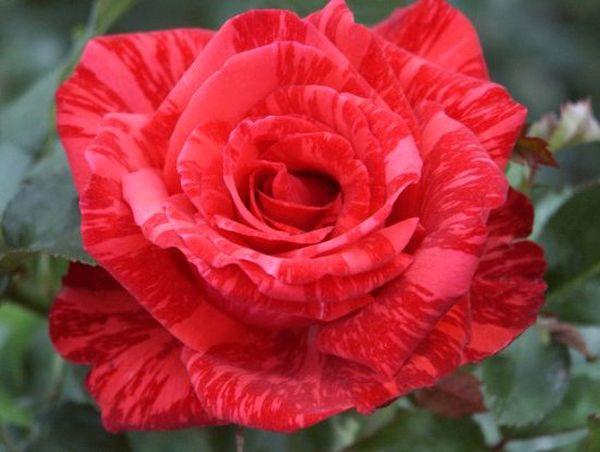 Ред Интуишн – очень красивая и эффектная розочка