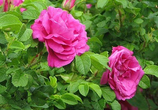 Мое Хаммерберг относится к светолюбивым сортам роз