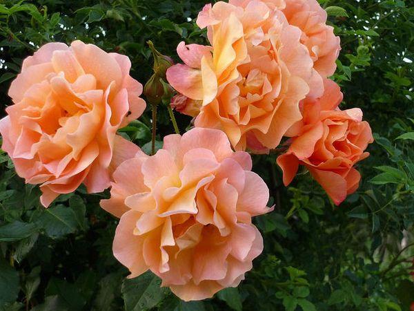Высаживать саженец розы лучше в чернозем