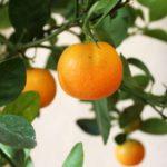Апельсиновое дерево можно содержать в доме