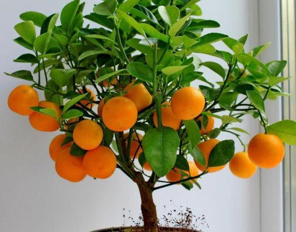 Апельсиновое дерево в домашних условияхнеплохо приживется